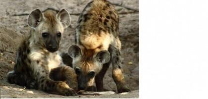 Hyena v zajetí reaguje chytřeji